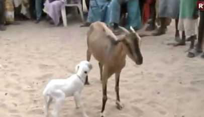 Une chèvre donne naissance à un agneau