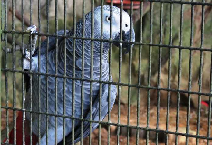 Brésil: Un perroquet «dealer» arrêté par la police