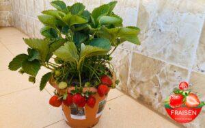 fraises senegalaises